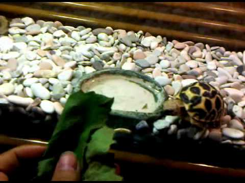 Jiviko Indian Star Tortoise (geochelone Elegans) Lapar.3gp video