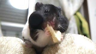 ASMR ♯7 パイナップル咀嚼音が可愛すぎ!ハムスターの音フェチ&ASMR動画!Sounds Funny hamster eats pineapple & ASMR Video!