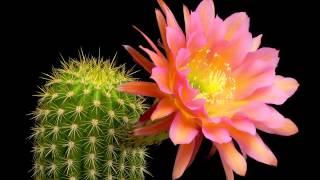 Meraviglia della Natura, come sbocciano i fiori del Cactus