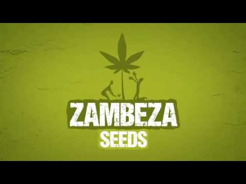 Big Bud XXL Autoflowering - Zambeza Seeds