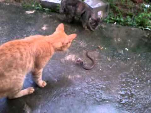 pagi jumaat ular vs kucing