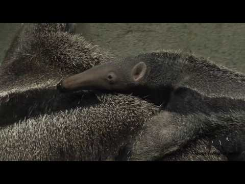 Baby anteater