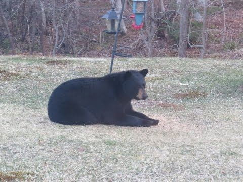 Black Bear In My Backyard! - Sackville, New Brunswick, Canada
