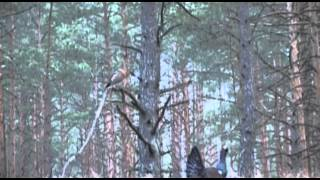 Professional hunting in Western Siberia with wolf-laika crosses. Film 3.  English