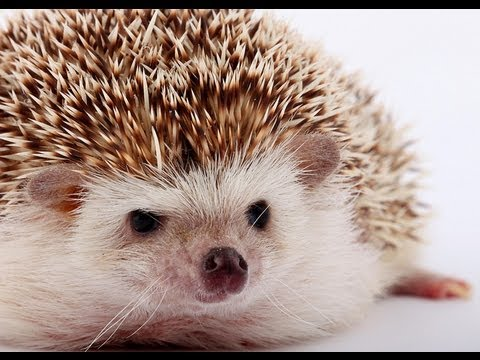 Hedgehog Population Disappearing