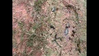 Armored catfish hassa