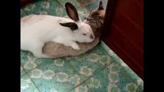 Rabbit loves cat