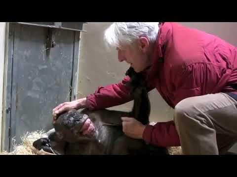 Эмоциональная встреча 59 летней шимпанзе с профессором