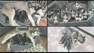 10 NEWBORN SIBERIAN HUSKY PUPPIES | WATCH THEM GROW | NEWBORN - 6 WEEKS OLD | TIME LAPSE!