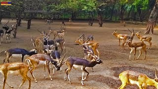 Animals Video for kids Children Toddlers Deer video Zoo Animals | National Zoo Park Deer Fight