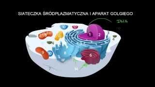 Siateczka śródplazmatyczna i aparat Golgiego