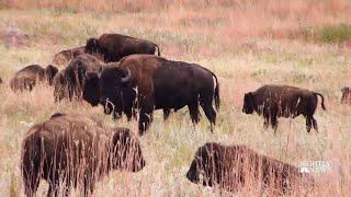 Meet The Folks Behind South Dakota's Annual Bison Roundup   NBC Nightly News