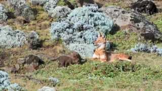 The Ethiopian Wolf Documentary - ኢትዮጵያዊው ብርቅዬ እንስሳ ቀይ ቀበሮ ጥናታዊ ፊልመም