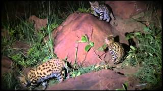 Wildlife Wonder-Black Footed Cats