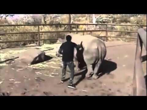 Оседлал носорога :D .flv