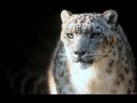 Снежный барс принц гор Животные дикой природы тайги Дальнего Востока Красная Книга редких видов