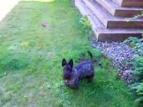 Scottish Terrier Attacks Bubbles