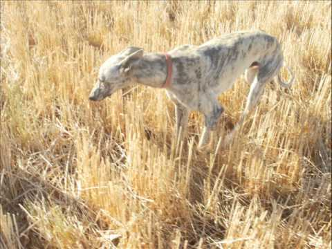 VIDEO DE GALGOS CORRIENDO LIEBRES