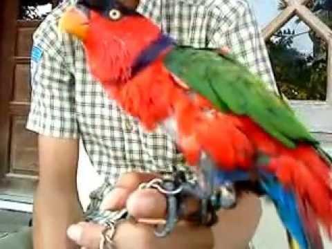 Burung Nuri Lucu Bisa Bicara video