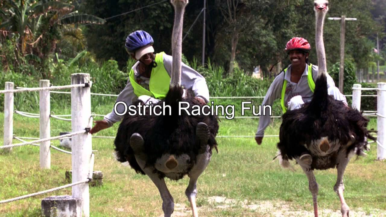 Ostrich Farm Malaysia Jelita Ostrich Farm Negeri