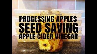 Seed Saving Runner Beans - Processing Apples - Starting Cider Vinegar - Erica's Little Welsh Garden
