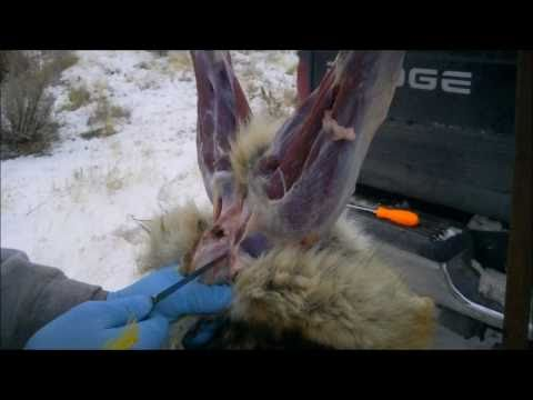 How To: Coyote Skinning