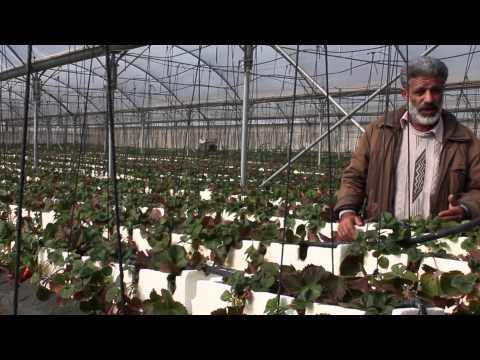 كيفية زراعة الفراولة في البيوت البلاستيكية