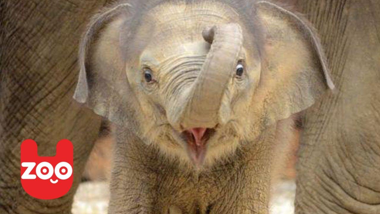 newborn asian elephant in madrid youtube