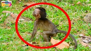 What Sweetie baby call ACHAP monkey to do?|Why Sweetie angry&need help from ACHAP|Monkey Daily 460