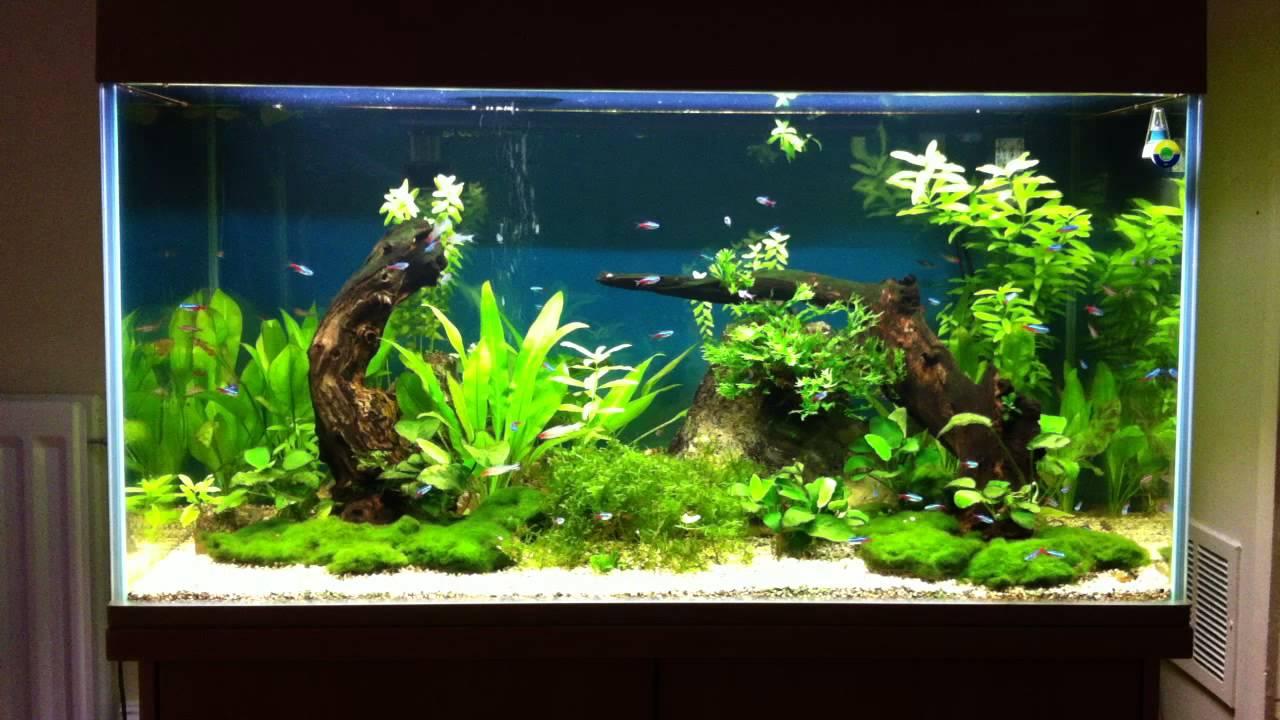 dwarf cichlids community tank