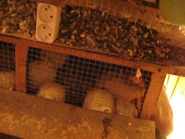 Перепела - содержание зимой/ quail in winter breeding - yout.