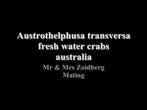 Freshwater Crabs Mating