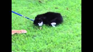 Funny Animal Video: Lazy Cat