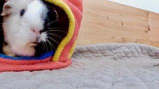 Happy Guinea Pigs Explore Their Cage