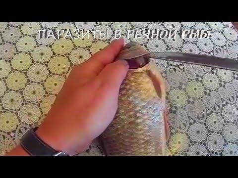 Паразиты, что живут в речной рыбе. Часть вторая ПИЯВКА кровосос! Рыбы Амура.