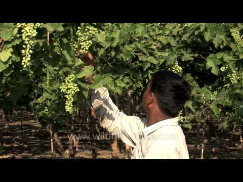Grape picking in Maharashtra's vineyards