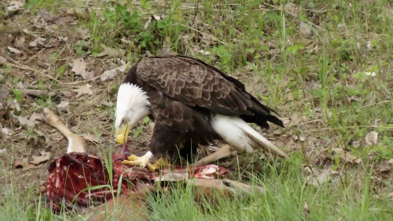 Bald Eagle Eating Deer Bald Eagle Eating Deer