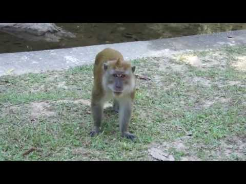 Angry Monkey Attack in Slow Motion