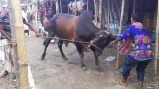 Angry Black Bull -2015,Dhaka ,Bangladesh .