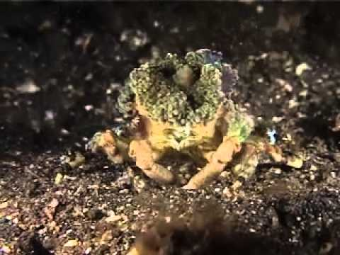 Diving Suluwesi - Reef Life of Lembeh Straits with Two Fish Divers Part 3