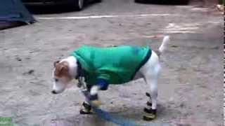 Dogs Wearing Shoes HD