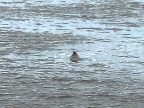 Seals in Point Judith Pond