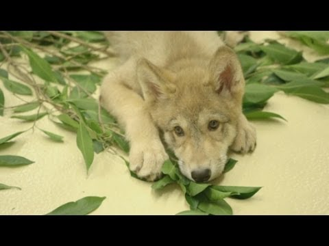 CUTE: Adorable grey wolf pup becomes San Diego Zoo's animal 'ambassador'