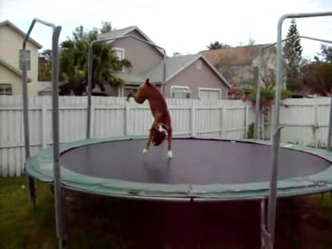The Trampoline Dog In Orlando Florida