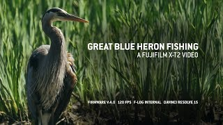 Heron Fishing: 120 FPS Fujifilm X-T2 video (Firmware V.4)