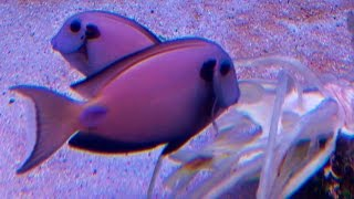 Cheapest food for Surgeonfish ᴴᴰ