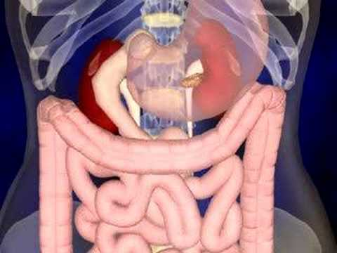 Human Digestive System Animation Video The Digestive System Animation