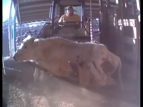 Watch: Hidden-camera Video Exposes Shocking Animal Abuse At Livestock Markets video