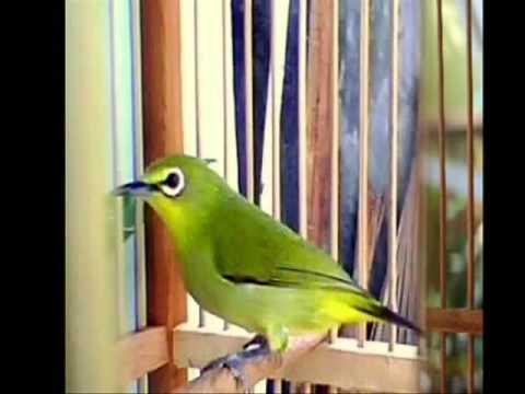 Burung Pleci Betina - Terapi Suara   Kicau Pleci video