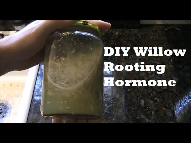 How to Make Willow Rooting Hormone For Propagating *SIMPLE* EZ